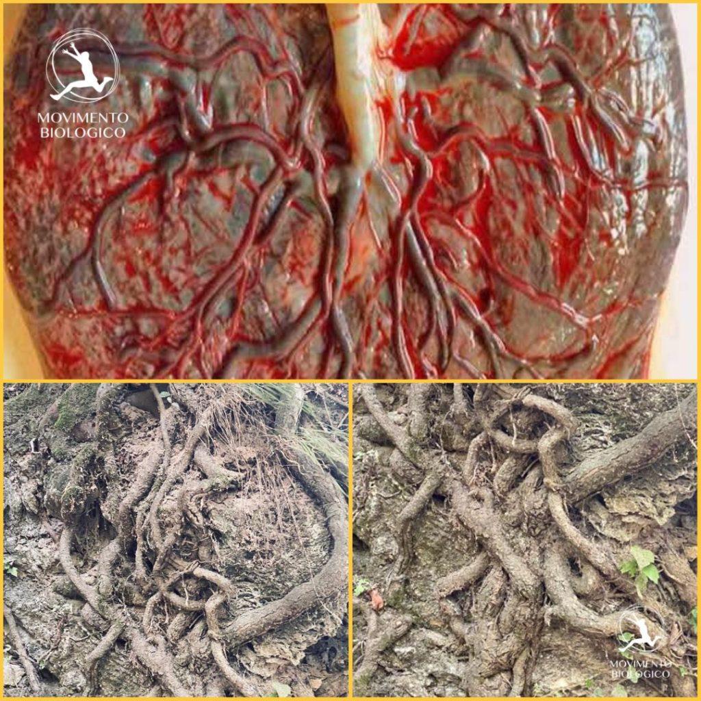 anato_mia placenta radici