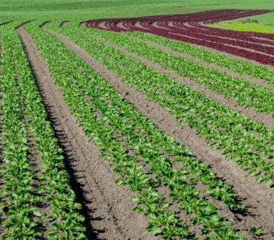 erbe spontanee campi orticoltura