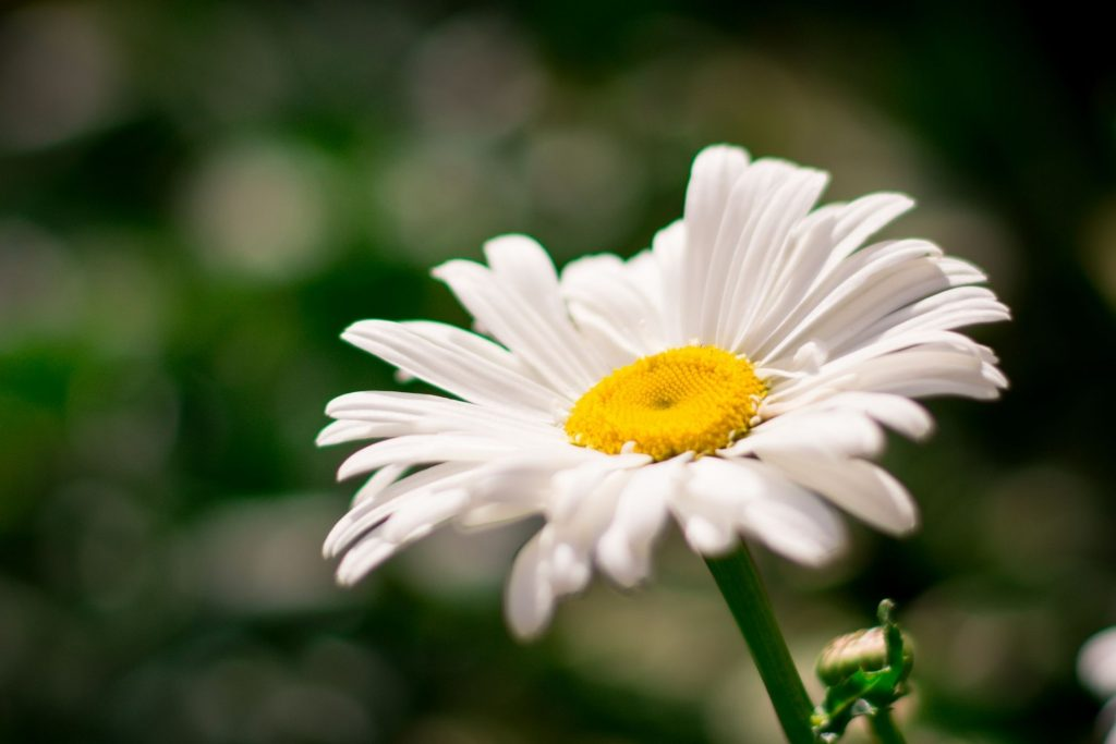 erbe spontanee fiore margherita